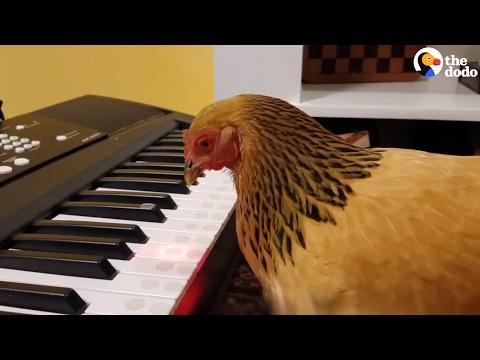العرب اليوم - شاهد دجاجة تعزف نشيدًا وطنيًا أميركيًا