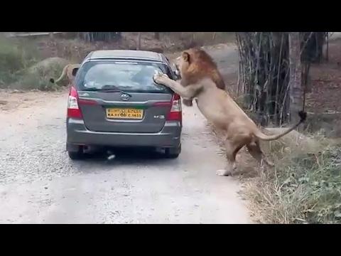 العرب اليوم - بالفيديو لحظة هجوم أسد على سيارة سفاري في الهند