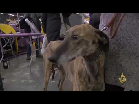 العرب اليوم - بالفيديو  كلاب نيويورك تتسابق للفوز بألقاب في الجمال