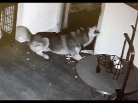 العرب اليوم - بالفيديو كلب يهرب من قفصه مع أصدقائه في المنزل