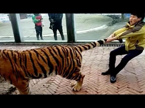 العرب اليوم - صيني يجر النمور من ذيلها دون خوف