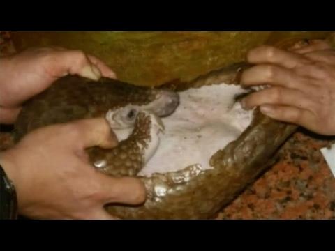 العرب اليوم - بالفيديو الصينيون يلتهمون آكلات النمل
