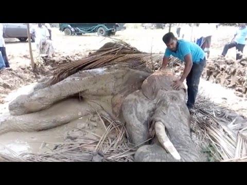 العرب اليوم - الأهالي يحاولون إنقاذ فيل مصاب