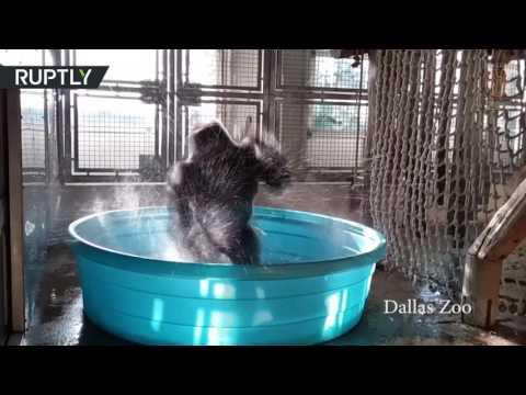العرب اليوم - شاهد غوريلا راقصة من حديقة حيوانات دالاس