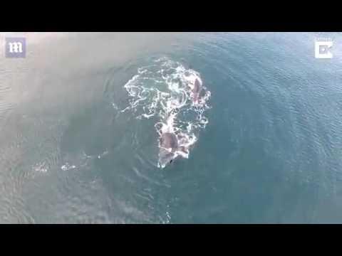 العرب اليوم - شاهد حيتان ضخمة تلهو على بعد خطوات من قوارب