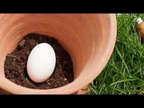 العرب اليوم - قم بزرع بيضة في تربة حديقتك وما سيحدث بعد أيام سيكون مفاجأة لك