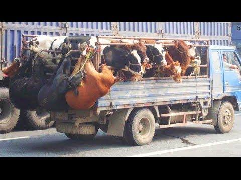 العرب اليوم - شاهد الفرق ما بين نقل البقرة الحديثة بالتكنولوجيا والات نقل بدائية
