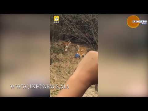 العرب اليوم - شاهد رجل تفترسه النمور داخل حديقة في الصين