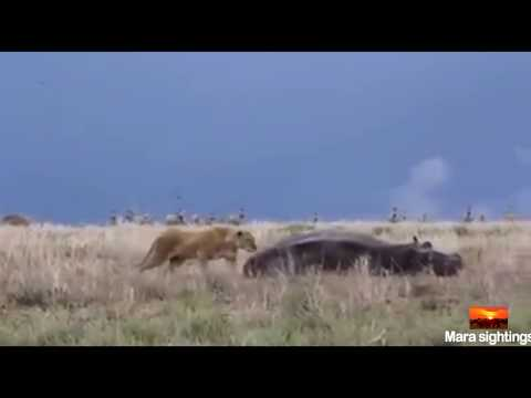 العرب اليوم - شاهد أنثى أسد تندم بعد محاولة افتراس فرس نهر