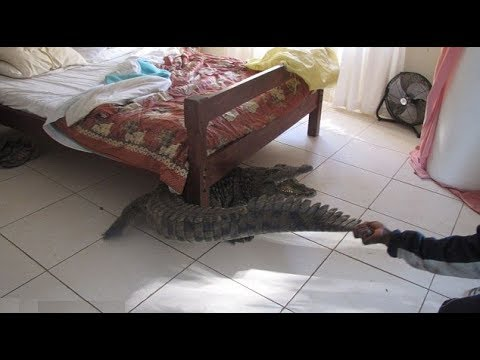 العرب اليوم - شاهد فتاة هندية تعثر على تمساح ضخم تحت السرير