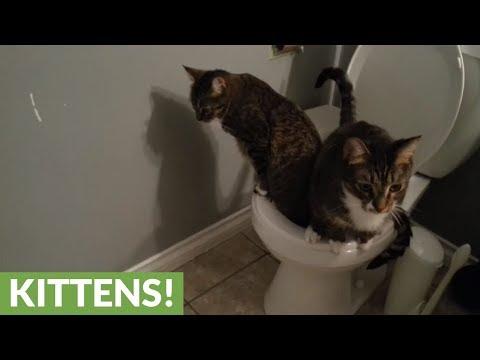 العرب اليوم - قطط تلتزم بقواعد المنزل وتقضي حاجاتها في المرحاض