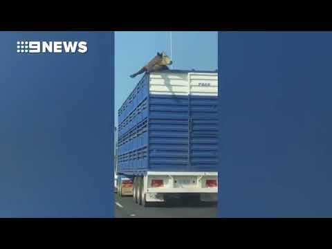 العرب اليوم - شاهد محاولة هروب بقرة من شاحنة على طريق سريع