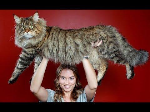 العرب اليوم - شاهد أضخم 10 سلالات القطط في العالم