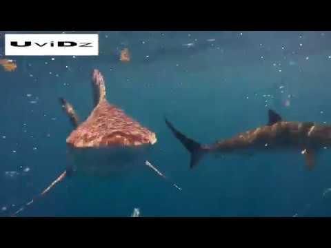 العرب اليوم - غواص يسبح وسط أسماك القرش في فلوريدا