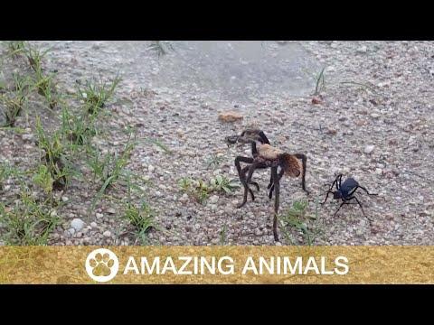 شاهد معركة وحشية بين عنكبوت ضخم ودبور صغير