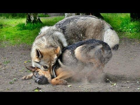 شاهد أكثر 10 سلالات الكلاب تشبه الذئاب كثيرا