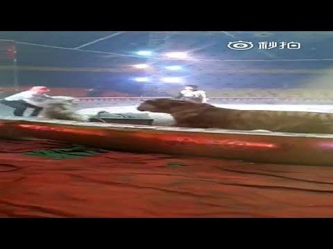 شاهد فيديو صادم لبروفة دموية في سيرك صيني