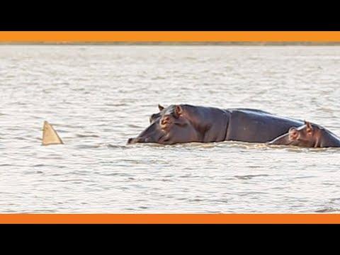 شاهد مواجهة بين أسماك قرش وقطيع أفراس نهر