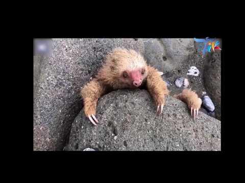 شاهد إنقاذ صغير حيوان الكسلان عالق بين صخور