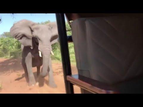 فيل غاضب يُهاجم سيارة يقطنها سائحون