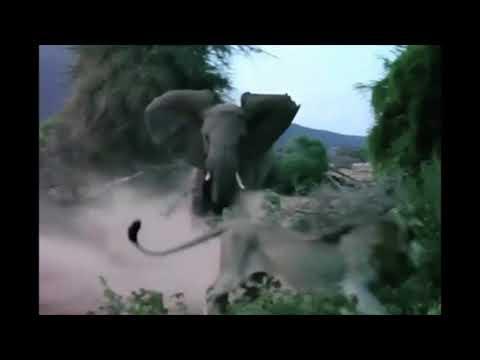 ضرب فيل لأسد كبير حاول أكل صغيره