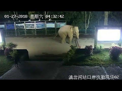 فيل يخترق نقطة حدودية بين الصين ولاوس بحثًا عن الطعام