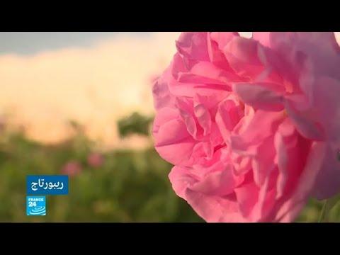 شاهدالفائض في إنتاج الورود يزيد مخاوف المزارع البلغاري