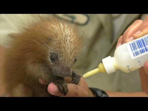 شاهد عمّال حديقة حيوانات بروكفيلد يعتنون بشيهم رضي