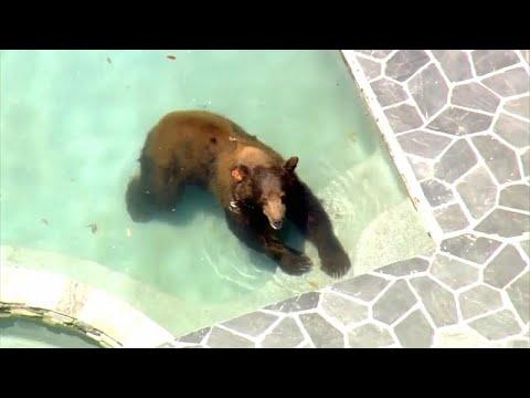 شاهد دب شارد يستحم في بركة سباحة