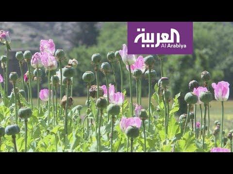 الورود تنافس الأفيون في أفغانستان