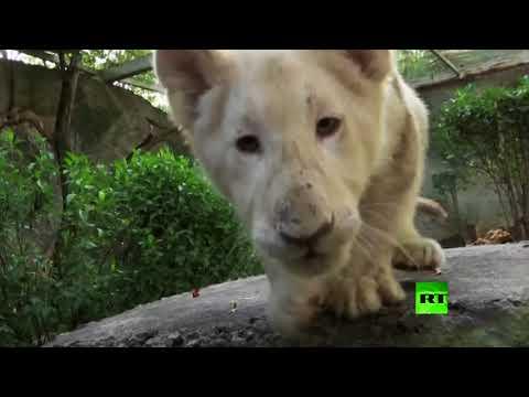 شاهد حديقة حيوانات مكسيكية تعرض شبليْن فريديْن من اللون الأبيض