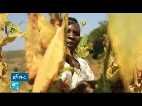 أطفال يتعرضون لأمراض خطيرة بسبب زراعة التبغ في ملاوي