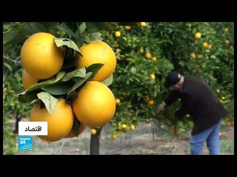 زراعة الحمضيات تشهد تراجعًا في قطاع غزة