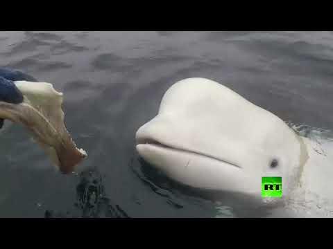 صيادون نرويجيون يعثرون على حوت أبيض مثبت فوقه كاميرا تصوير
