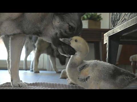 الصداقة تجمع كلبًا ببطة في قصة فريدة من نوعها بالنرويج