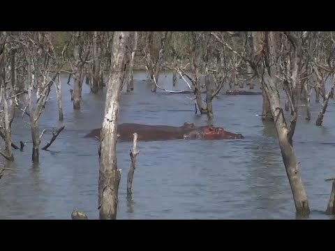 شاهد كينيا تُعلن خطر تناقص أعداد حيوان فرس النهر