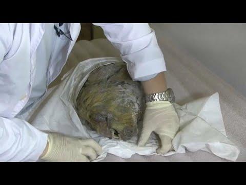 شاهد ثلوج سيبيريا تحفظ رأس ذئب منقرض لأربعين ألف سنة