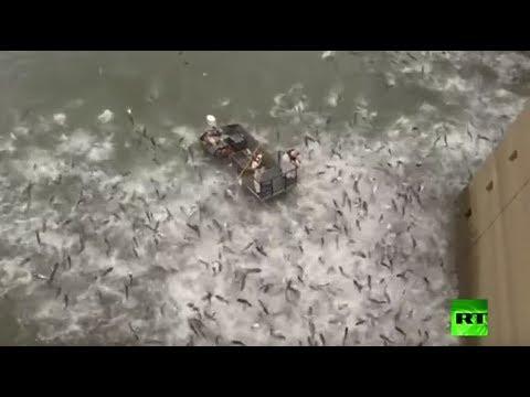 شاهد المئات من أسماك الكارب تقفز في الهواء بسبب صدمة كهربائية