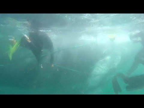 متطوعون يحررون حوت الأحدب من شبكة صيد بالقرب من ساحل بيرو