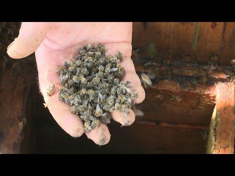 شاهد نفوق كميات هائلة من النحل في ظاهرة غريبة تحدث لأول مرة في روسيا