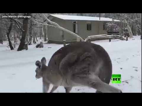 رد فعل غير متوقع لكنغر بعد سقوط نادر للثلج في أستراليا