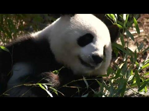 أنثى الباندا العملاقة المعارة من الصين  منغ منغ حامل