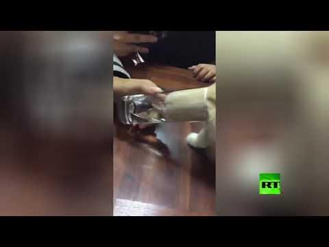 قطة تغوص في كأس الماء لشدة عطشها
