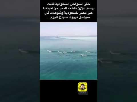 شاهد لحظات مُبهرة لقطيع غزلان هاجر بحرًا من أفريقيا وحط في تبوك