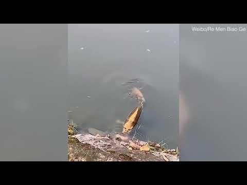 شاهد سمكة شبوط بوجه إنسان تُدهش زوّار قرية في جنوب الصين