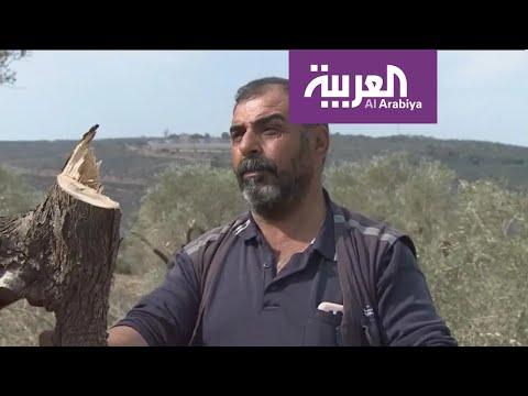 قطعان المستوطنين تقطع أشجار الزيتون في نابلس