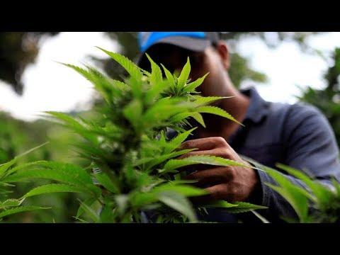 مزارع الماريجوانا المحرمة في باراغواي