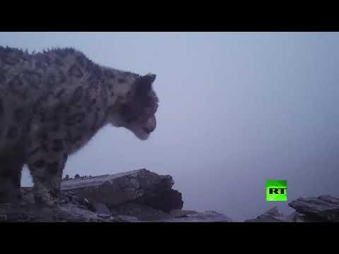 أول فيديو لنمر الثلوج على ارتفاع 4900 متر