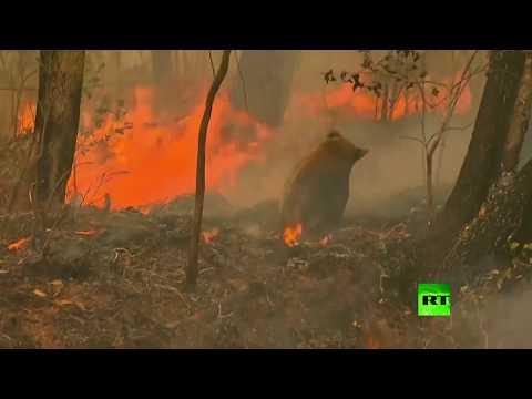 امرأة تخاطر بحياتها لإنقاذ كوالا من النار