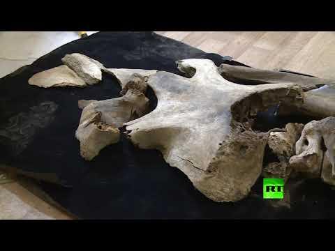 شاهد العثور على آثار ماموث منقرض قتله صائد منذ 20000 سنة
